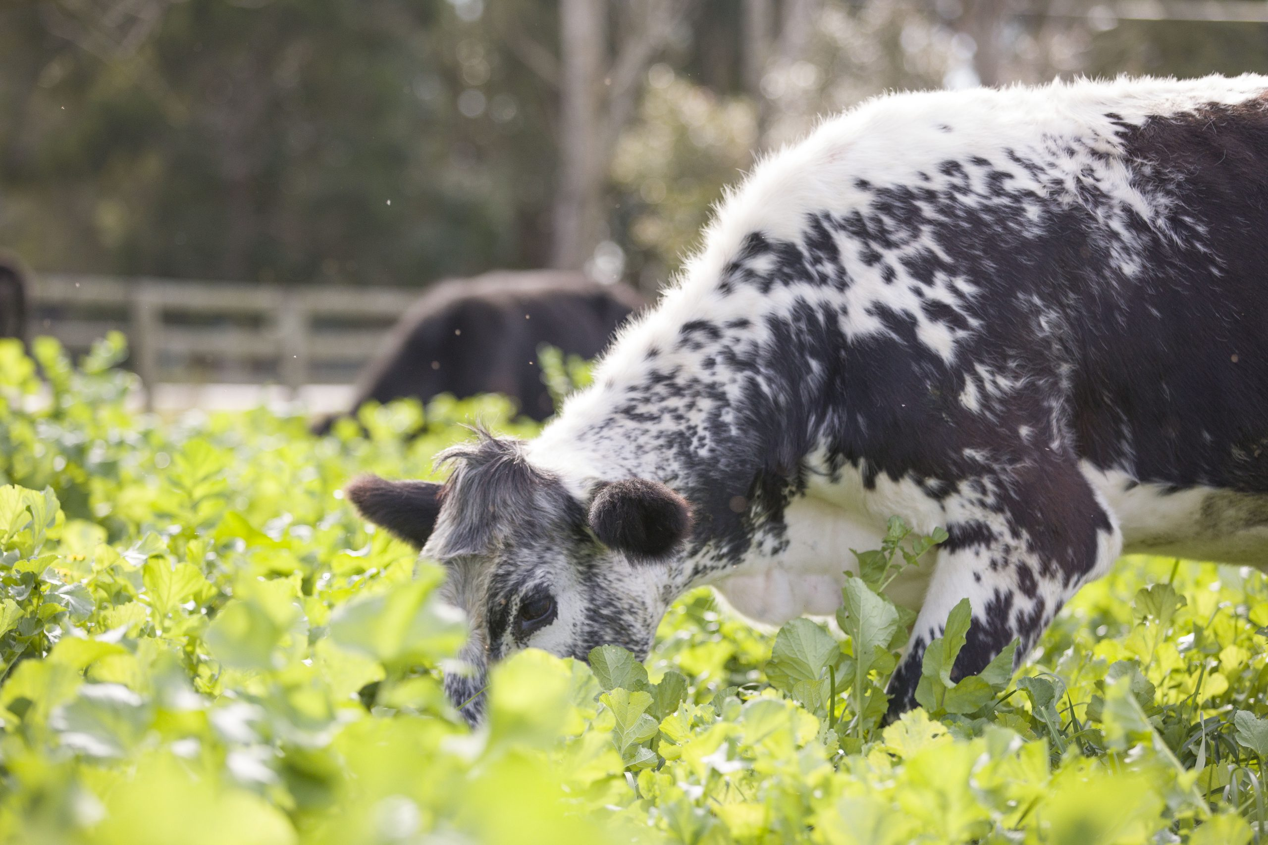 Cow grazing on lush grass pastures on The Food Farm